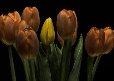 Tulips against black background