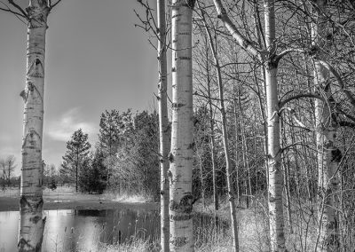 Birch Trees beside a pond on a March day